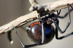 Muscatura unui păianjen otrăvitor