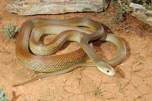 Descrierea celor mai otrăvitoare animale din Australia