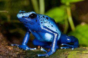 Descrierea celor mai otrăvitoare animale din America de Sud