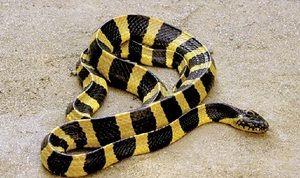 Fapte despre șerpi - cum se face distincția între otrăvitori