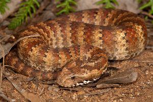 Viper șarpe - fotografie de o reptilă