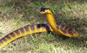 Cum arată un șarpe tigru?