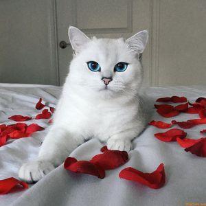 Descrierea celei mai frumoase pisici