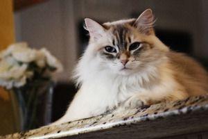 Ce rase de pisici sunt considerate afectuoase