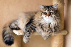 Pisica siberiana - trăsături caracteristice