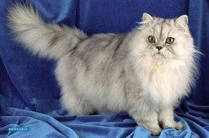 Pisica persana este considerata lenesa si afectuoasa