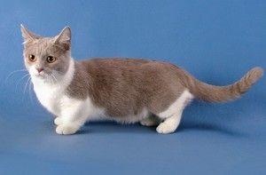 Descrierea unei pisici mici