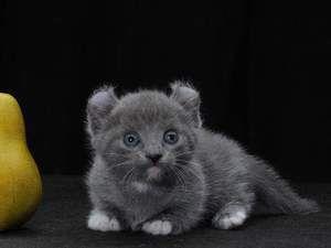 Pisici de rase mici