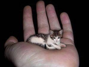 Caracteristicile raselor de pisici mici