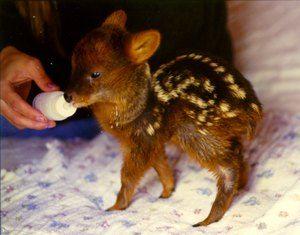 Dimensiunea celui mai mic mamifer