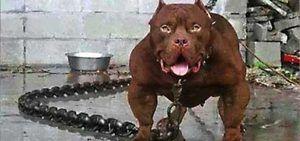 Rase de câini periculoase