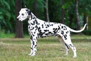 Dalmațienii - câine activ și fizic dezvoltat