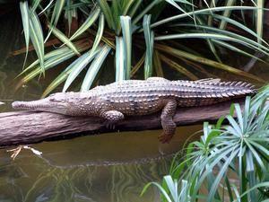 Crocodil australian