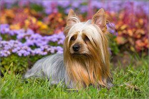 Rasește terrierul de mătase australian