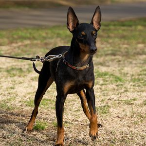 Îngrijirea animalelor de companie Terrier