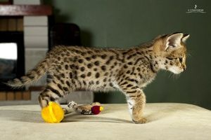 Descrierea rasei rare de pisici