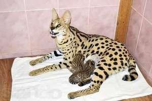Clasificarea raselor de pisici