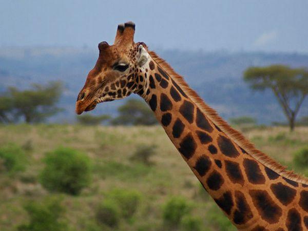 Girafele Rothschild sunt cunoscute pentru culoarea originală și pentru coarnele suplimentare
