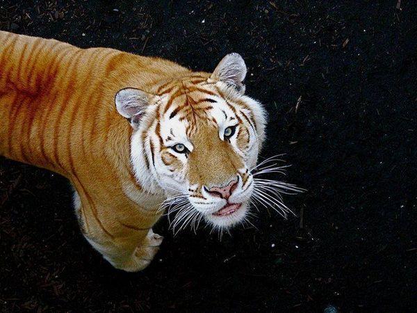 Cele mai scumpe tigri de aur au o culoare unica datorita unei gene speciale