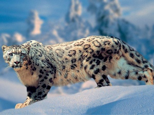 Leoparile de zăpadă dispar de pe planeta noastră din cauza oamenilor care vânează blănurile