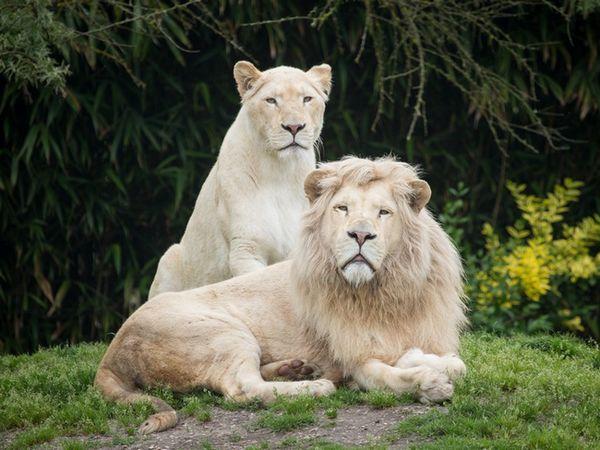 Leii albi nu sunt albinoși, ci purtători ai unei boli genetice