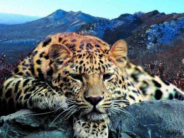 Farurile leoparde din Orientul Îndepărtat au fost deplasate de mult timp de la habitat, putând să dispară în curând