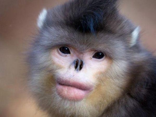 Mama maimuță birmaneză a fost descoperită nu cu mult timp în urmă și ea se afla deja în Cartea Roșie
