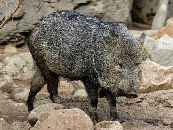 În curând, poate să dispară un porc vrăjit Visai, motivul fiind braconajul și ecologia