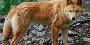 Există doar 300 de lupi roșii în întreaga lume