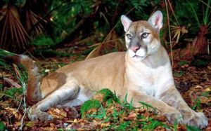 Florida puma aparține unor specii rare - doar 160 de animale sunt cunoscute