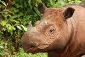 Există foarte puține rinoceri albi din Sumatran, dar nu se reproduc în captivitate