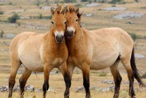 Calul lui Przewalski poate fi văzut numai în grădinile zoologice și rezervațiile naturale