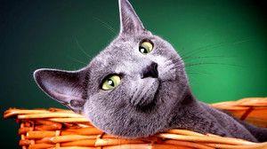 Secretele succesului pisicii albastre din Rusia