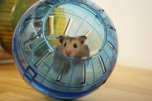 Ball pentru un hamster: cum să alegi într-un magazin și să îl folosești
