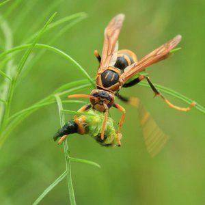 Hornet mănâncă prada