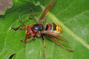 Hornet comun - caracteristic