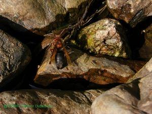 Parazit social, hornet Dybowski