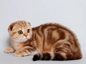 Pisică scoțiană