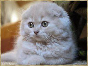 Îngrijire pentru pisici de Scottish Straight și Scottish Fold