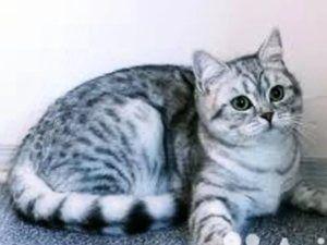 Boli ale pisicilor britanice