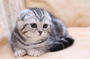 Natura pisicilor Fold