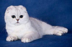 Înmulțirea pisicilor de tip Scottish Fold la domiciliu