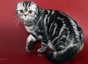 Hrănirea pisicilor din Scottish Fold