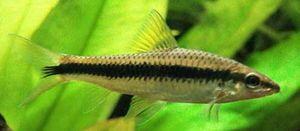 Algele siameze - un pește maroniu cenușiu, cu o dungă caracteristică neagră