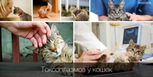 Simptomele și tratamentul toxoplasmozei la pisici