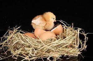 Câte zile găsește ouăle înainte de pui și cum să stea