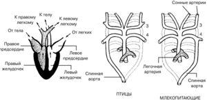 Cum funcționează inima păsărilor