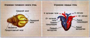 Cum sunt aranjate creierul și inima unei păsări