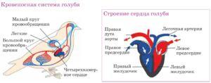 Inima cu patru camere - de ce pasărea are o astfel de structură a organului