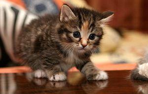 Kittens-ingrijire
